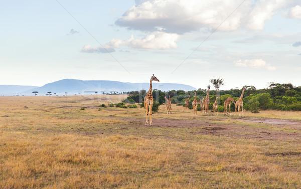 グループ キリン サバンナ アフリカ 動物 自然 ストックフォト © dolgachov