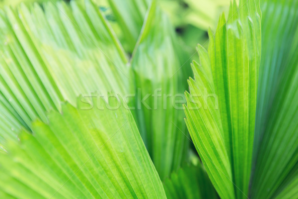 green palm tree leaves Stock photo © dolgachov