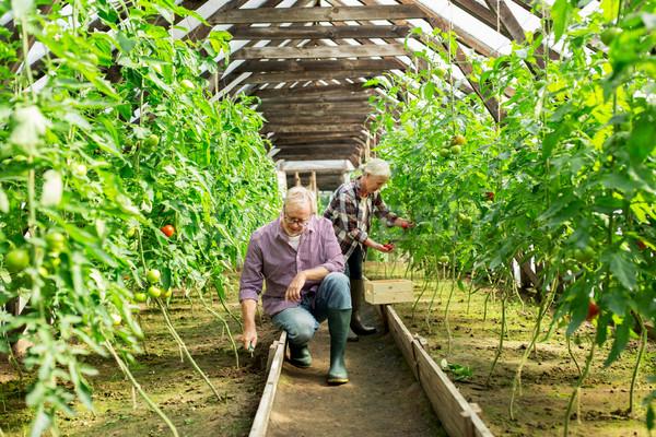 Casal de idosos trabalhando fazenda estufa jardinagem Foto stock © dolgachov