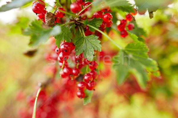 Piros ribiszke bogyók nyár kert természet Stock fotó © dolgachov