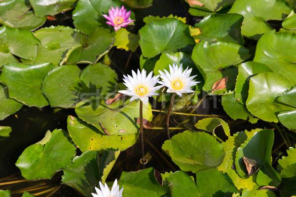 white water lilies in pond Stock photo © dolgachov