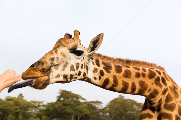 Hand giraffe afrika dier natuur Stockfoto © dolgachov