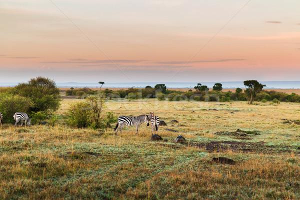 Kudde zebra's savanne afrika dier natuur Stockfoto © dolgachov