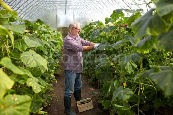 Oude man komkommers omhoog boerderij broeikas Stockfoto © dolgachov
