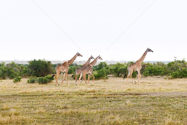 group of giraffes walking along savannah at africa Stock photo © dolgachov