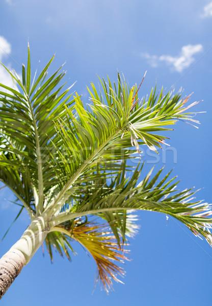 Palmboom blauwe hemel witte wolken vakantie natuur Stockfoto © dolgachov