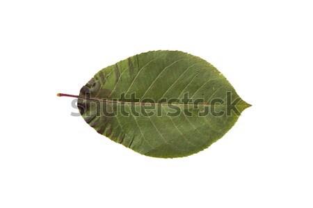 dry fallen chokeberry tree leaf Stock photo © dolgachov