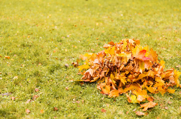 heap of fallen maple leaves on grass Stock photo © dolgachov