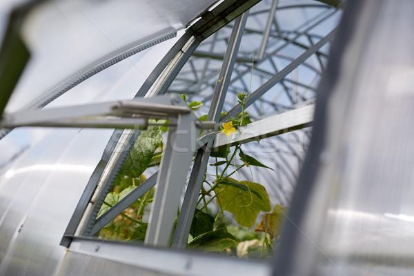 огурца саженцы растущий теплица садоводства Сток-фото © dolgachov