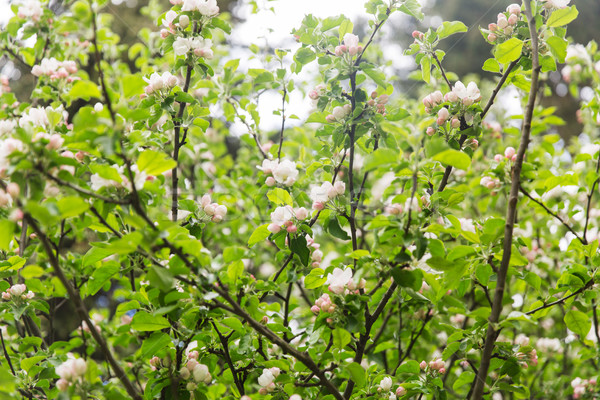 close up of beautiful blooming apple tree branch Stock photo © dolgachov