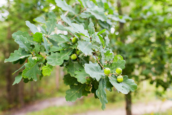 Dąb oddziału pozostawia lasu sezon botanika Zdjęcia stock © dolgachov