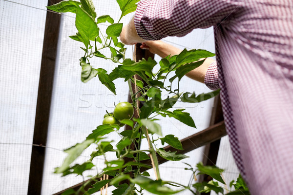 senior man tying up tomato seedling at greenhouse Stock photo © dolgachov