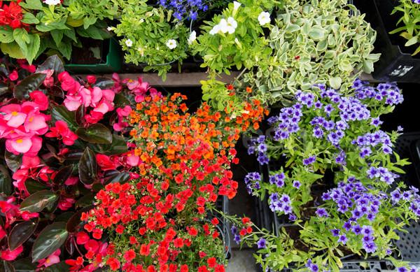 Közelkép virág palánták utca piac kertészkedés Stock fotó © dolgachov