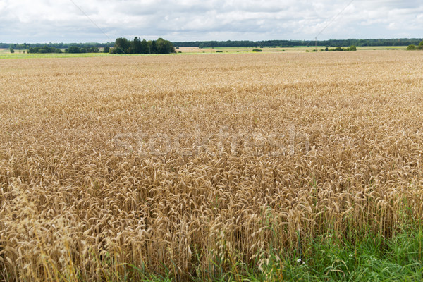 field of ripening wheat ears or rye spikes Stock photo © dolgachov