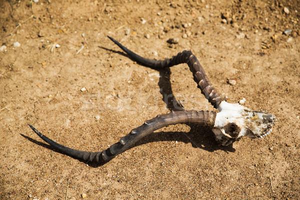 impala antelope skull with horns on ground Stock photo © dolgachov