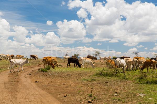 cows grazing in savannah at africa Stock photo © dolgachov