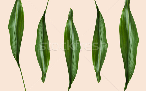 green leaves on beige background Stock photo © dolgachov