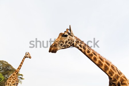 giraffes in africa Stock photo © dolgachov
