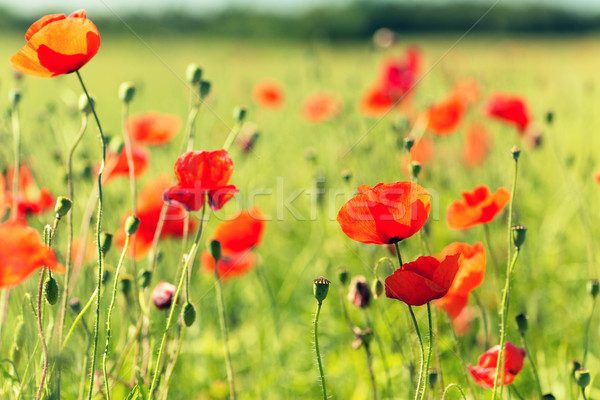 summer blooming poppy field Stock photo © dolgachov
