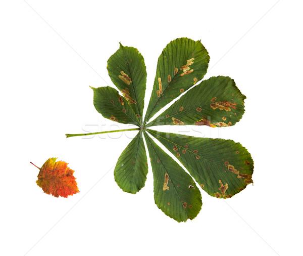 Secar castanha árvore folha natureza temporada Foto stock © dolgachov