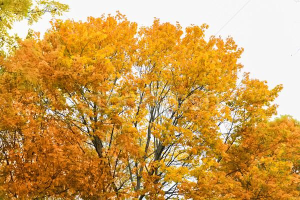 close up of maple tree outdoors Stock photo © dolgachov