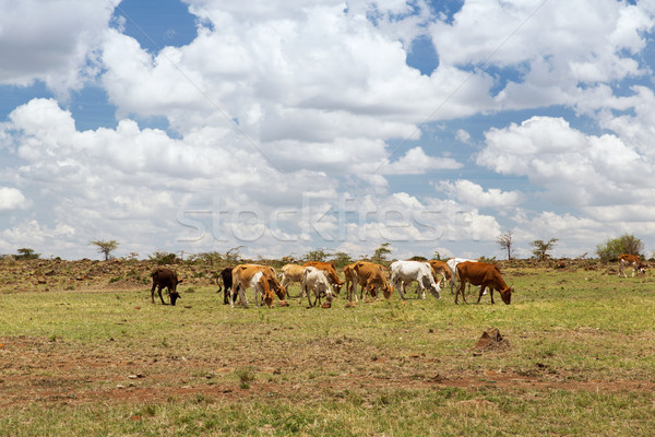 herd of cows grazing in savannah at africa Stock photo © dolgachov