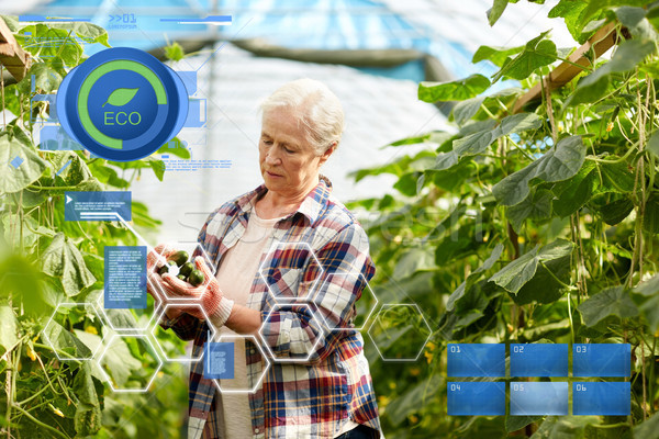 Stock photo: old woman picking cucumbers up at farm greenhouse