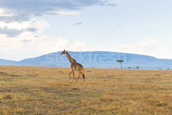 giraffe in savannah at africa Stock photo © dolgachov