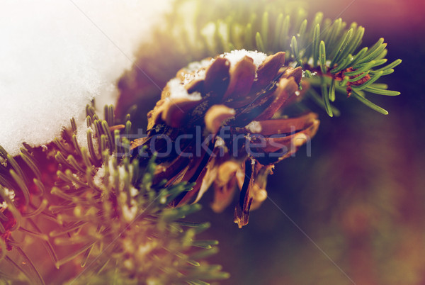 fir branch with snow and cone in winter forest Stock photo © dolgachov