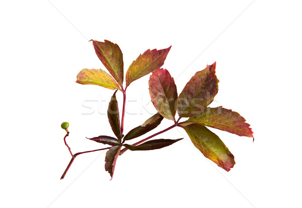 Otono de uva hojas vid naturaleza temporada Foto stock © dolgachov