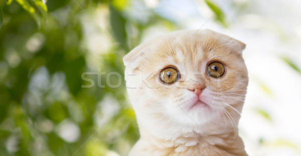 Stock photo: close up of scottish fold kitten over nature
