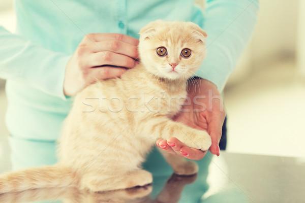 close up of scottish fold kitten and woman Stock photo © dolgachov