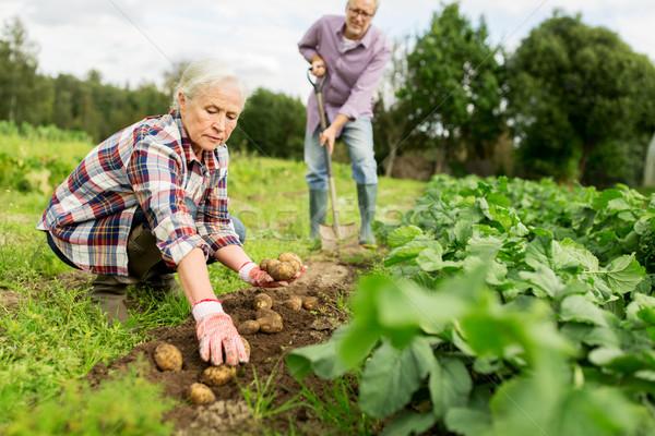 Pareja de ancianos patatas jardín granja Foto stock © dolgachov