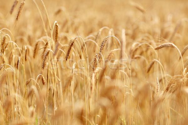 Zbóż dziedzinie dojrzały żyto pszenicy charakter Zdjęcia stock © dolgachov