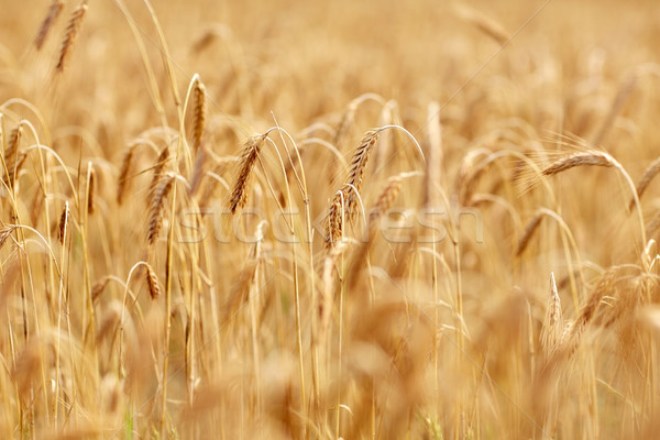 Cereal campo maduro centeio trigo natureza Foto stock © dolgachov