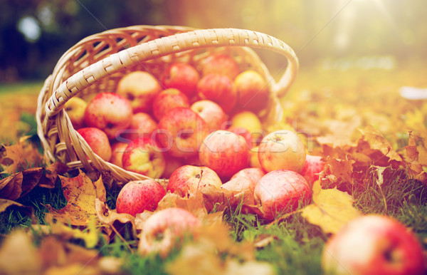 wicker basket of ripe red apples at autumn garden Stock photo © dolgachov