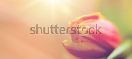 close up of tulip flower Stock photo © dolgachov