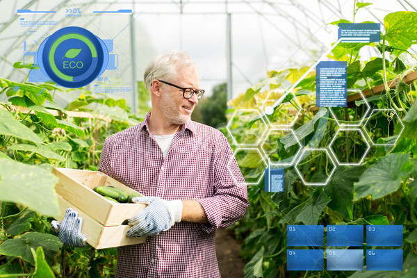 old man picking cucumbers up at farm greenhouse Stock photo © dolgachov