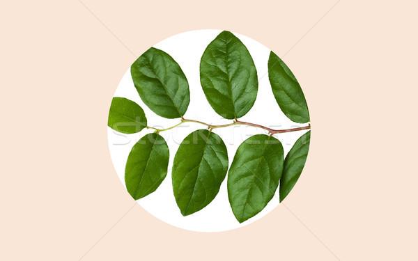 Zöld levelek fehér bézs természet organikus növénytan Stock fotó © dolgachov