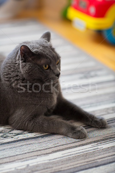 ストックフォト: 英国の · ショートヘア · 猫 · ホーム · ペット