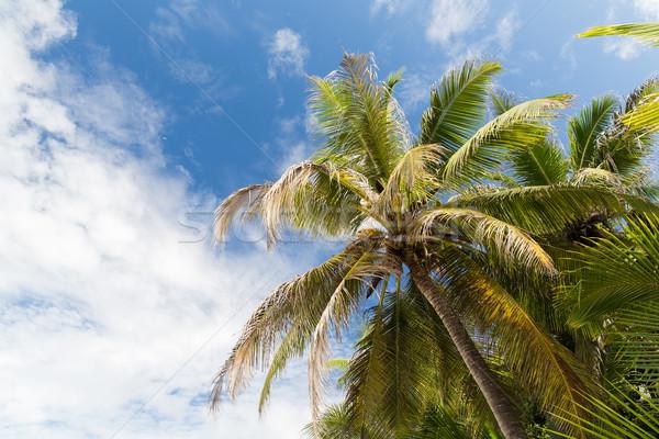 palm trees over blue sky Stock photo © dolgachov