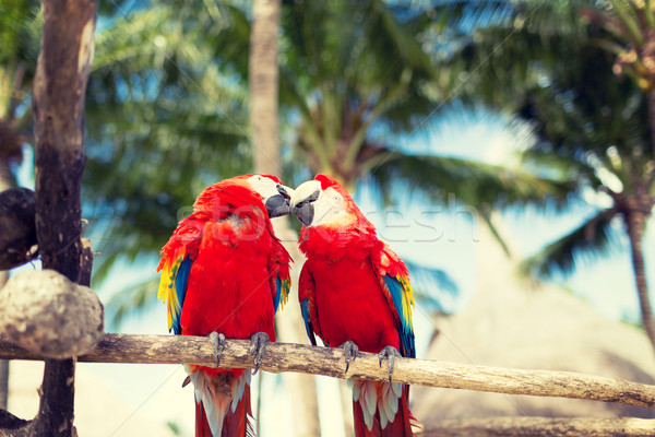 couple of red parrots sitting on perch Stock photo © dolgachov