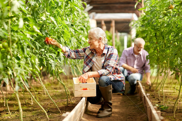 old woman picking tomatoes up at farm greenhouse Stock photo © dolgachov