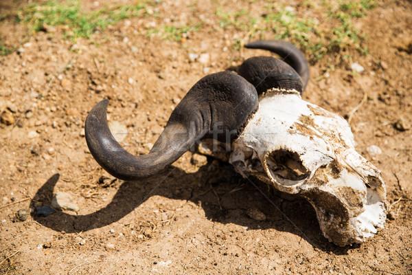 Schedel grond dier lijk natuur Stockfoto © dolgachov