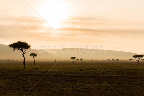 acacia trees in savannah at africa Stock photo © dolgachov