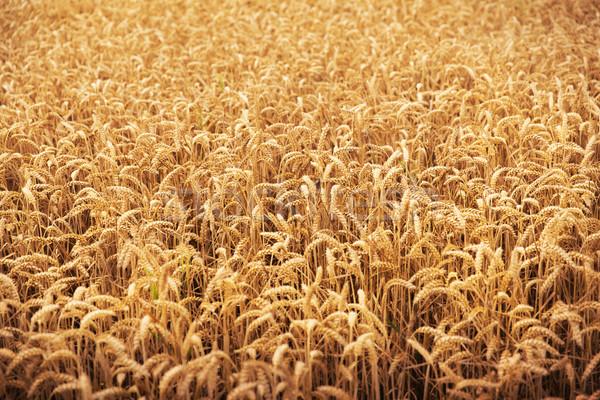 области пшеницы ушки рожь сельского хозяйства Сток-фото © dolgachov