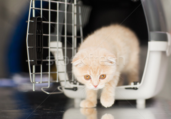 close up of scottish fold kitten in cat carrier  Stock photo © dolgachov