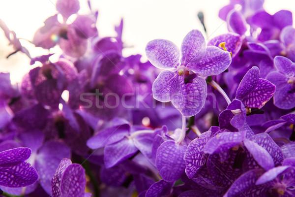 Ibolya lila orchidea virágok kertészkedés növénytan Stock fotó © dolgachov