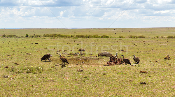 vultures eating carrion in savannah at africa Stock photo © dolgachov