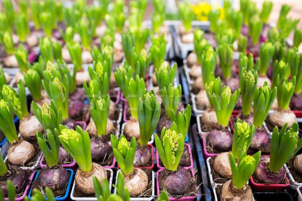 close up of hyacinths seedlings at greenhouse Stock photo © dolgachov